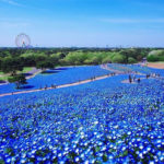 The Park of Hitachi in Japan and its 4.5 million deep blue flowers