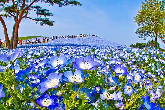 giappone-fiori-nemophila-parco-di-Hitachi
