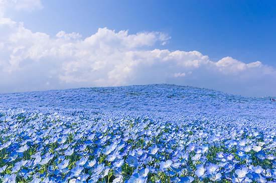 nemophila-blu